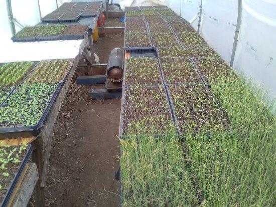Matt's Produce: A few plants in the greenhouse.