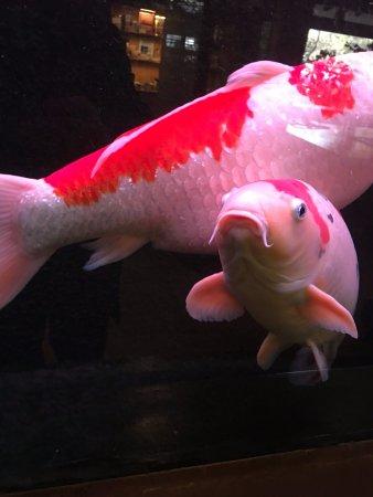 Chikuma, Japan: お出迎えする鯉