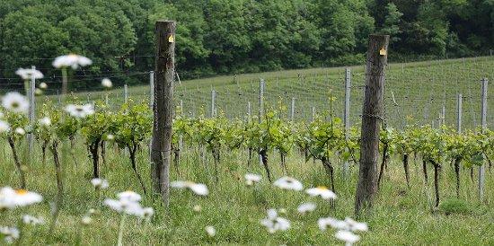 Albury, UK: The vineyard in Spring