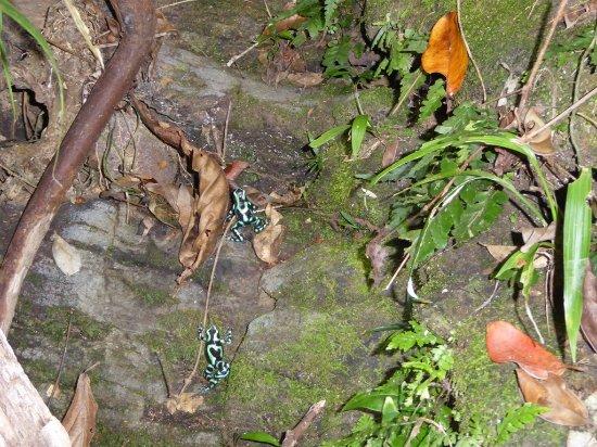 Portobelo, ปานามา: grenouilles venimeuses