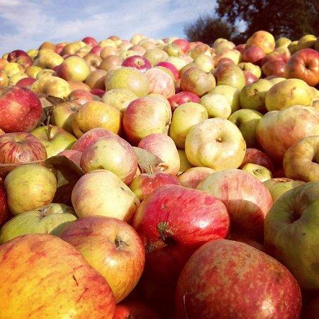 Quintueles, Spain: Manzanas para hacer la sidra en Castañón