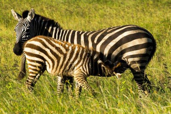 Arusha Region, Tanzania: New life in Serengeti