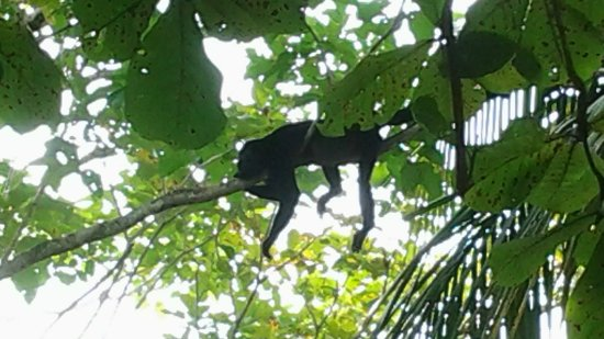 Tambor, Costa Rica: Howler monkey in our garden enjoing the Pura Vida life