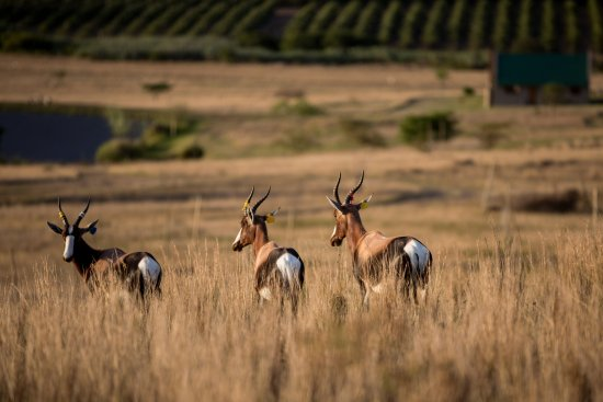 Swellendam, Zuid-Afrika: Bontebok