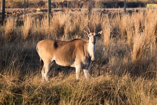 Swellendam, South Africa: Eland