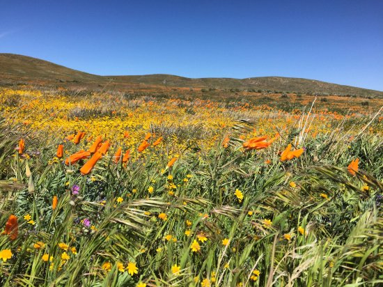 Antelope Valley California Poppy Reserve: March 2017 at the poppy reserve