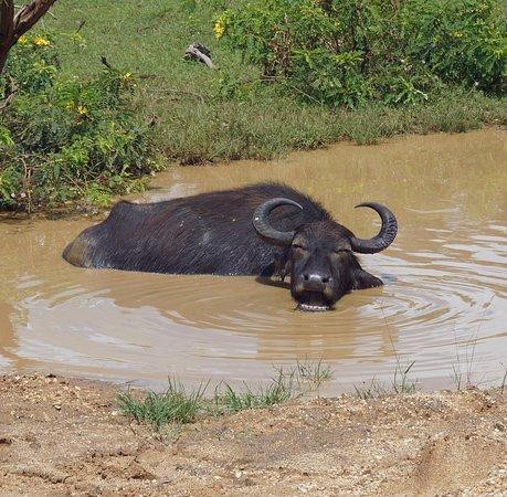 Tissamaharama, Sri Lanka: Water buffalo enjoying a good wallow and cud chew! Looks SO happy!