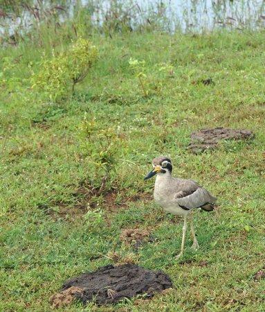Tissamaharama, Sri Lanka: ..and the Thick knee (Stone Curlew).
