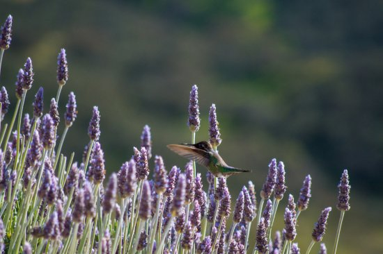 Inn at the Pinnacles Bed and Breakfast: Hummingbird (?) in the garden