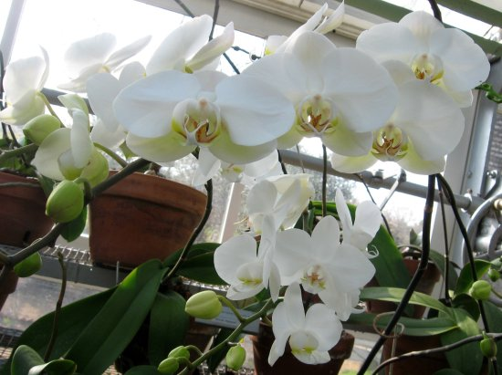 LaGrange, GA: Orchids blooming in the greenhouse.