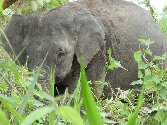 Borneo Elephant - Picture of Borneo Eco Tours - Day Tours ...