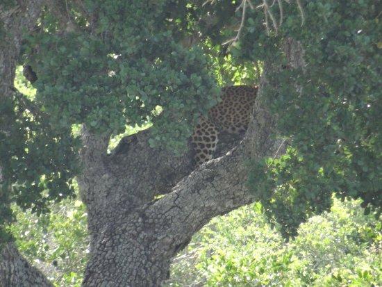 Tissamaharama, Sri Lanka: leopard in the tree