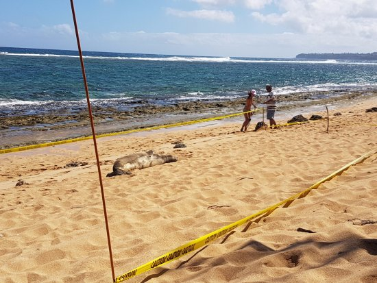 Hale Makai Cottages: Owner caring for monk seal