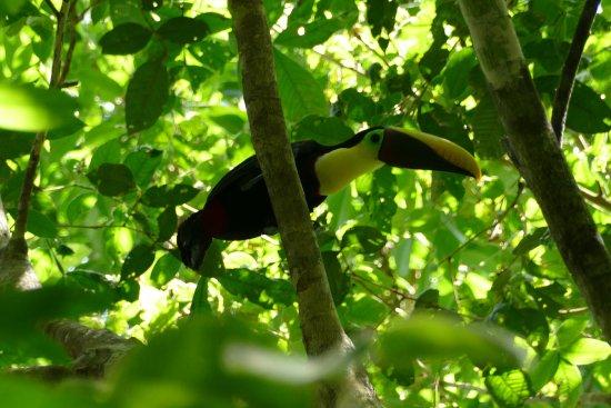 Drake Bay, Kostaryka: toucan, corcovado