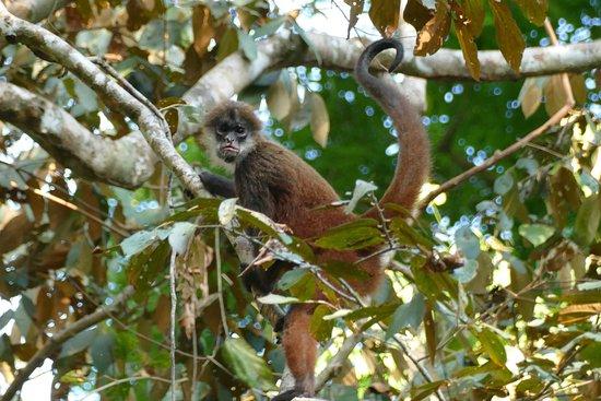 Drake Bay, Costa Rica: monkey, corcovado