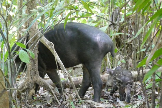 Drake Bay, Costa Rica: tapir and baby, corcovado
