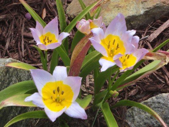 คองคอร์ด, นอร์ทแคโรไลนา: Hybrid Tulips