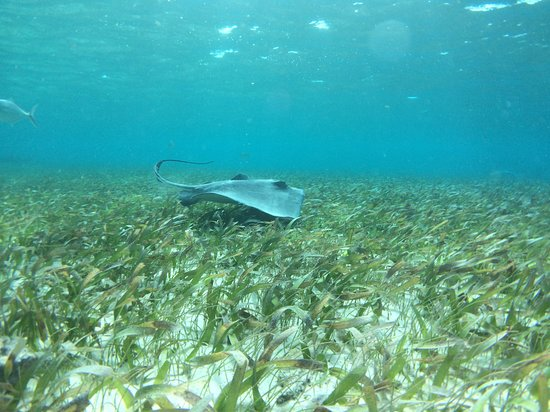 Caye Caulker, Belize: Ray