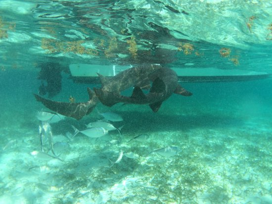 Caye Caulker, Belize: Shark feeding