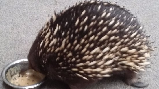 Beauty Point, Australia: Cute echidna having lunch at Platypus House