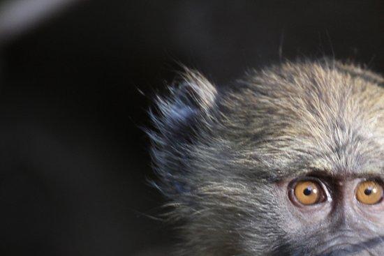 Bright African Safaris: A monkey at Lake Manyara