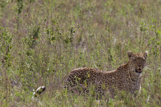 Bright African Safaris: A leopard on the hunt