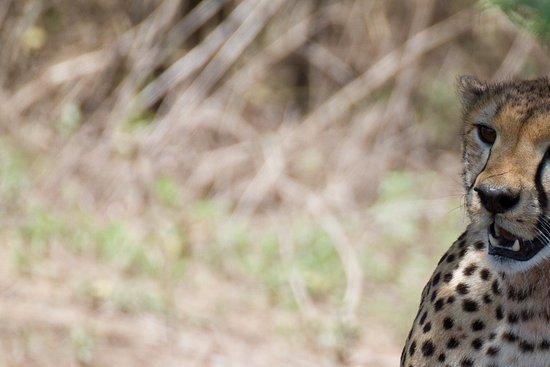 Bright African Safaris: A cheetah posing for a photo