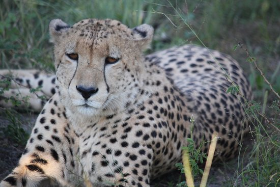 Madikwe Game Reserve, South Africa: cheetah