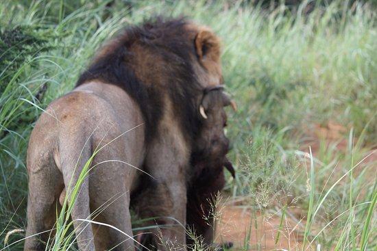 Riserva di Madikwe Game, Sudafrica: lion having his breakfast