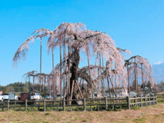 Hara-mura, Japan: 小淵沢の大糸桜 車で20分 4月上旬~中旬