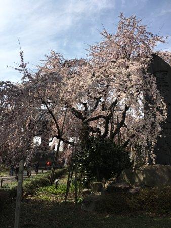Fuchu, Japan: 美しいしだれ桜1