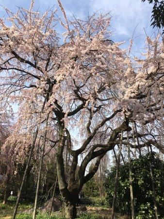 Fuchu, Japan: 美しいしだれ桜2