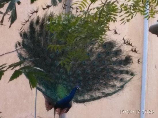 Hotel Anuraag Villa: Peacock dancing in garden area