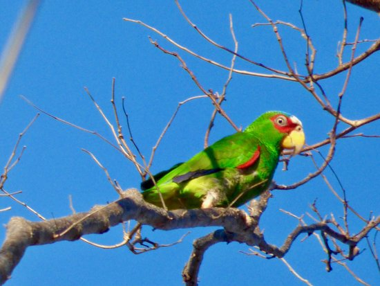 Nicoya, Costa Rica: White-fronted Parrot