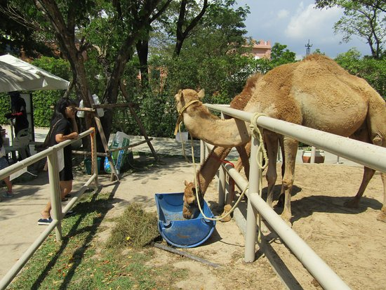 Cha-am, Tailandia: onta
