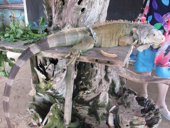 Tanjung Benoa, Indonesia: Chained to a stand but, too lethargic to move anyway.
