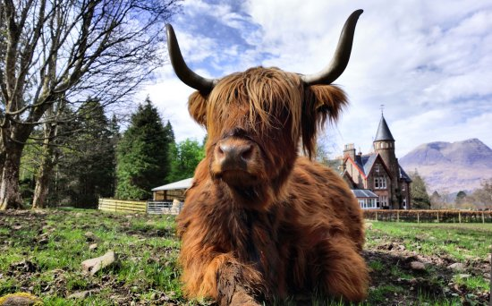 ‪‪Torridon‬, UK: Highland Cattle‬