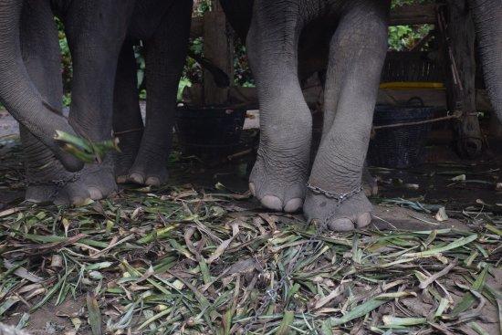 Kok Chang Safari Elephant Trekking: Chained legs