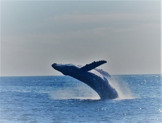 Ecocat Catamaran Tours : Junior Male Humpback Whale