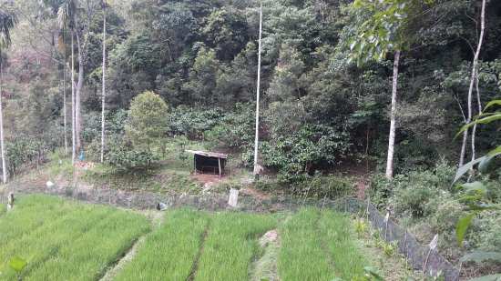 Pusat Konservasi Batang Palupuh Alami (Taman Rafflesia)