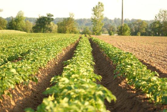 Saint-Antoine-de-Breuilh, Prancis: Nos premières pommes de terre bio (2012)