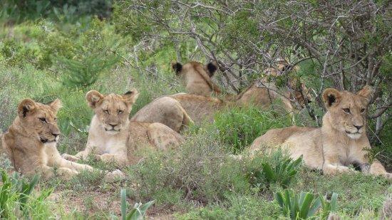 Заповедник Шамвари, Южная Африка: FB_IMG_1490454863882_large.jpg