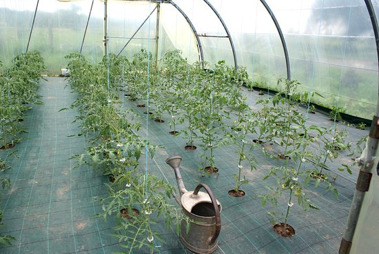 Saint-Antoine-de-Breuilh, Prancis: Les bébés plants de tomates variétés anciennes de la petite serre