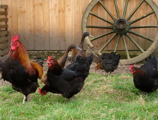 Saint-Antoine-de-Breuilh, Prancis: La basse-cour : poules Marans et Barbezieux (races anciennes du sud-ouest), canards coureurs ind