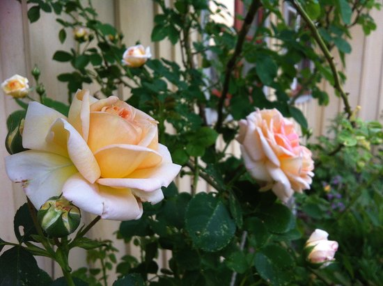 Perstorp, Sweden: Roses in the garden