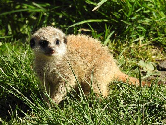 Bedale, UK: Baby Meerkat