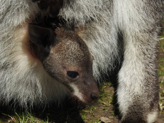 Bedale, UK: Baby Wallaby