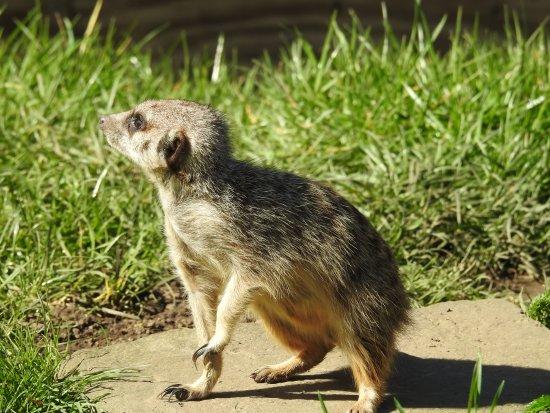 Bedale, UK: Meerkat