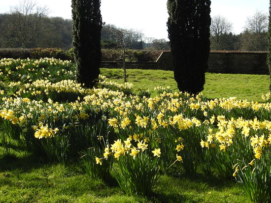 Bedale, UK: More Daffodils
