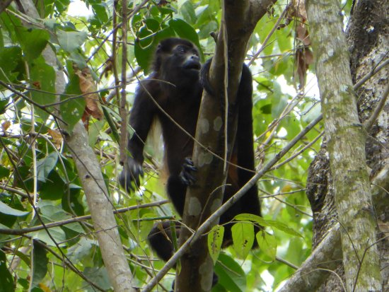 Osa Clandestina: Howler monkeys in the area